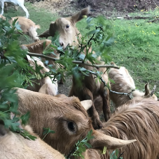 Rosebud Meadow Golden Goats