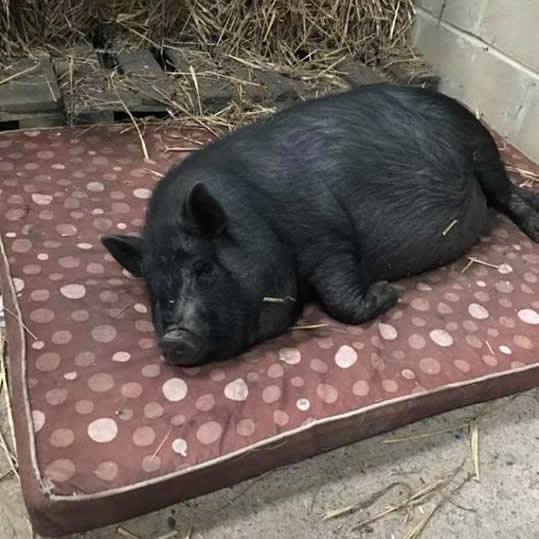 Rosebud Meadow Micro Pigs